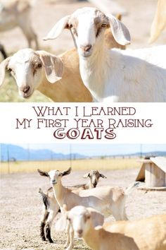 There is a huge learning curve when you start raising goats…