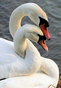 Недавно читала рассказ о том что если погибнет лебедка, то её партнёр умрёт за ней. Очень тронуло!