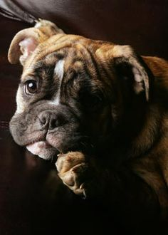 // Boxer baby (will be mine)