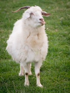 9 Adorable Goats --> http://www.hgtvgardens.com/photos/homesteading-photos/goat-pictures?soc=pinterest