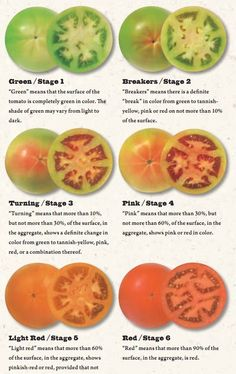 Different Stages of Ripening for Tomatoes  How To Grow Juicy Tasty Tomatoes