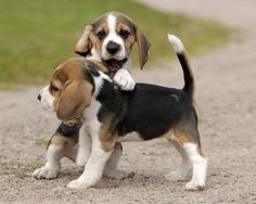 Beagle #puppies