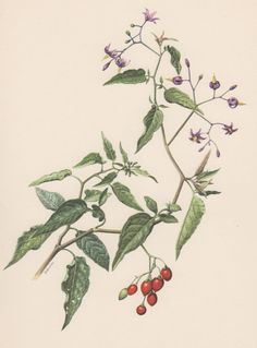 Vintage Botanical Print, Solanum dulcamara, bittersweet nightshade, bitter nightshade.  Flower lithograph illustration published in ca. 1955. Original print!  Condition: very good.  Paper size approx 9.4 x 6.5inches or 24.0 x 16.7 cm.  Origin: Berlin, Germany.  Scientific description of the plant printed on the reverse.  Please look at the pictures carefully, read the description of each item and examine the pictures with zoom. I do the best I can to add clear and accurate scans or pictures…