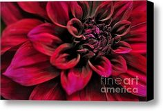 Sold - Shades of Red - Dahlia