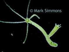 Beautiful hydra captured by Mark Simmons under a biological microscope. http://www.microscopeworld.com/c-455-lab-biological-microscopes.aspx