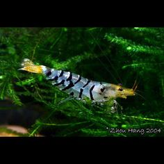 blue fairy shrimp nano aqua pinterest garnelen aquarium und aquarium einrichten. Black Bedroom Furniture Sets. Home Design Ideas