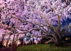 Japanese Cherry Blossom Festival – Hanami In Japan - All Know-How Cherry Blossom Party, Cherry Blossom Japan, Cherry Blossom Season, Cherry Blossoms, Visit Tokyo, Visit Japan, Tropical Greenhouses, Temple Gardens, Blossom Trees