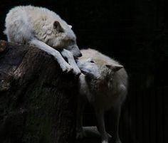Beautiful Wolves