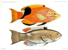 Animal - Fish - Red and yellow stripes and dots