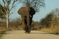 Elephant-sighting in the Kruger National Park.  (africafreak.com)