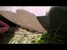 How to Kill Earwigs and Make a Trap + Demonstration