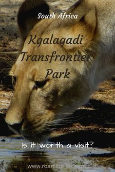Is the Kgalagadi Transfrontier Park worth a visit? What do you think? #Kgalagadi #nationalpark #aridpark #predators #safari #birdwatching East Africa, North Africa, Africa Destinations, Wildlife Safari, Africa Travel, Travel Around The World, Travel Inspiration, Traveling By Yourself, Fox