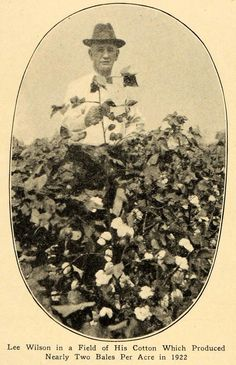 Lee Wilson in cotton field, Mississippi County, Ar
