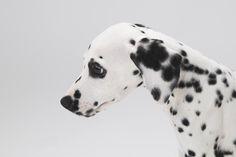 #달마시안 #컴마 #애견 #반려동물 #스튜디오노므 #사진 #강아지 #友達 #カムマ #ノム #ペット #写真 #犬 #ダルメシアン #Nomu #Dalmatian #comma #Friend #dog