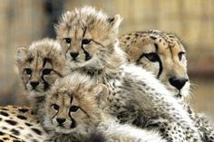 I think cheetah cubs have the cutest faces in all the cat world!!! <3