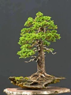 Shirley Lord  Japanese Bonsai Plants