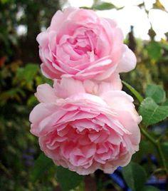 ~Bourbon Rose: Rosa 'Pierre de St Cyr' (France, 1838)