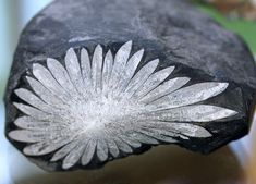 Unusually perfect specimen of chrysanthemum rock. This close-up shows the 1 1/2 pound stone with a flower-like pattern that is is made of celestite and calcium deposits on black limestone.