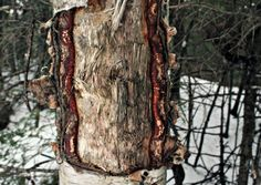 I love this birch tree :) Birch, Photography, Photograph, Fotografie, Photoshoot, Fotografia