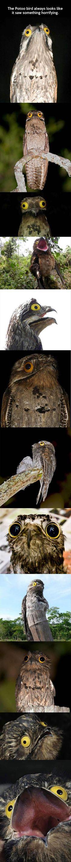 The Potoo Bird Always Looks Like It Saw Something Horrifying