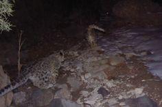 Two snow leopards run past a camera trap in Uzbekistan's Gissar Nature Reserve. Photo by: ©Y. Protas/Panthera/WWF Central Asia Program/Uzbek Biocontrol Agency/Gissar Nature Reserve.