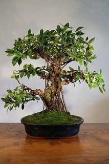 Ficus Retusa bonsai - Autumn 09' - after first styling