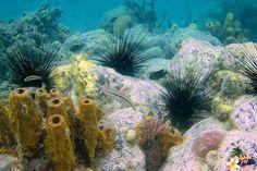 Eponges & oursins noirs - Pointe Borgnese - Martinique - Antilles #snorkeling © AliZéMédia