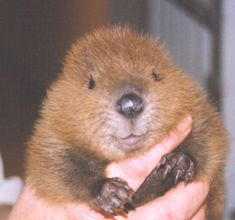 Wildlife Rehab Clinic - Education Beaver...look at this sweet face