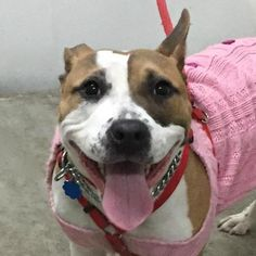 MANDY • 2 years old • Pit Bull Terrier Mix • Female • 19041 • She is friendly, people-focused and loved spending time with us. She likes to play tug of war with the toys and displayed no aggression. • ADOPTED • ℹ️For More Pics, Videos & Info: http://www.dogsindanger.com/dog/1490449764907