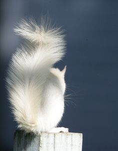 Albino Squirrel by shila.wilson, via Flickr