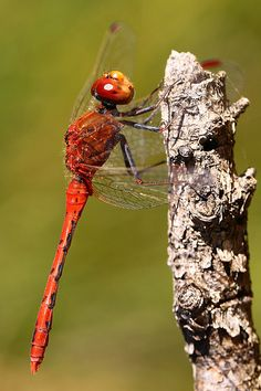 Love the color of this dragon fly.