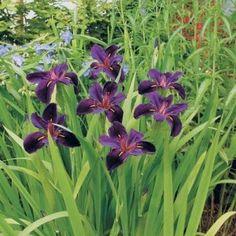 Louisiana Black Gamecock Iris   Buy Garden Plants Online