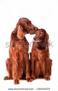 Irish Setter Stock Photos, Images, & Pictures | Shutterstock