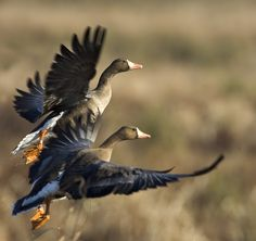 greater white fronted geese by Darlene Boucher