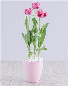 plants: Purple Tulip Plant in Pink Pot! Pink Happy Birthday, Happy Birthday Candles, Heart Balloons, Helium Balloons, Order Plants Online, Elizabeth Arden Red Door, Planting Tulips, Lucky To Have You, Purple Tulips
