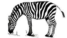 zebra drawing step easy simple paintings youtu kid