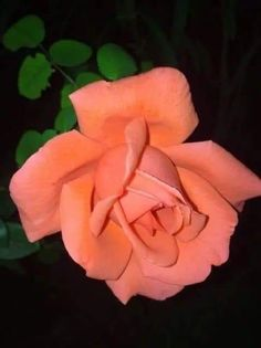 Flowers Gif, Beautiful Rose Flowers, Exotic Flowers, Amazing Flowers, Pretty Flowers, Different Flowers, Types Of Flowers, Orange Roses, Red Roses