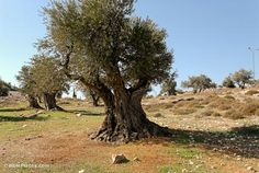 Pictures and text illuminating the olive trees in the Bible