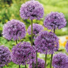 The Allium 'aflatunenense', is a fall planted ornamental onion bulb with tightly packed round clusters of purple flowers atop of a tall, thick, bare stem. The low growing foliage turns down as the plant blooms, showcasing the blooming lilac globes blooms. Allium aflatunenense are great for both the garden, and as fresh or dried cut flower arrangements. The blooms are pleasantly fragrant and they look great planted in clusters in the garden or in pots.