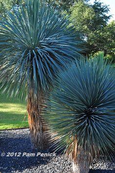 Yucca rostrata 'Sapphire Skies' Hardy to zone 6