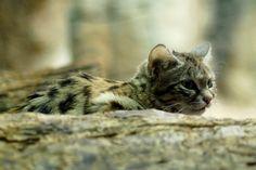 Ces photos de félins sont sublimes... Mais figurez-vous que bientôt ces animaux risquent de ne plus exister !  Le chat à pieds noir : c'est le plus petit des chats sauvages africains. Cette espèce est en voie de disparition à cause de leurs proies disparues.