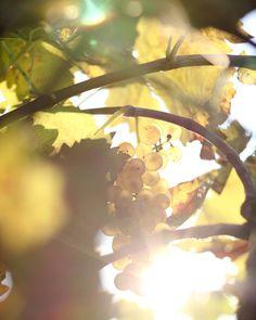 ༺✿༻ Pliny The Elder, Dappled Light, Nature View, Adam And Eve, Natural History, Vines, Vineyard, Fantasy, Focal Length