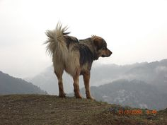 Himalayan Sheepdog / Bhote Kukur / Himalayan Shepherd