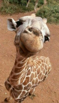 Close up of a curious Giraffe. Giraffe numbers are dwindling across Africa because of poaching and habitat loss caused by human population. Cute Creatures, Beautiful Creatures, Animals Beautiful, Majestic Animals, Beautiful Sky, Cute Baby Animals, Animals And Pets, Funny Animals, Smiling Animals