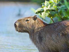 Capybara(Hydrochoerus hydrochaeris) photographed by Tambako The Jaguar at Porto Joffre, Matto Grosso do Sul, Brazil.
