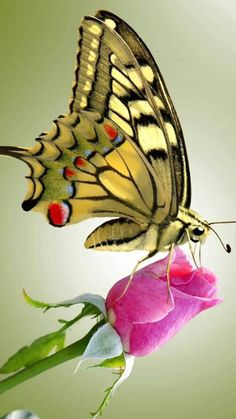 All beautiful Flowers Butterfly Painting, Butterfly Wallpaper, Butterfly Flowers, Butterfly Wings, Mariposa Butterfly, Rose Flowers, Flowers Nature, Beautiful Bugs, Beautiful Butterflies