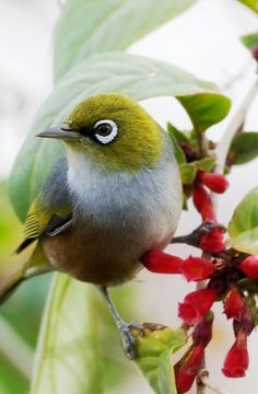 Bird calls drowned out by city noise - Silvereye: native to Australia, New Zealand. Pretty Birds, Love Birds, Beautiful Birds, Beautiful Pictures, Zealand Tattoo, Bird Calls, Australian Birds, White Eyes, Tier Fotos