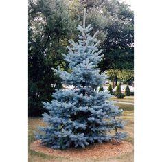 Picea pungens Hoopsii. Aukštis apie 2m., plotis apie 1m.