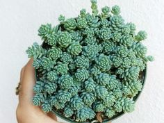 Sedum dasyphyllum 'Major' (Corsican Stonecrop) is a mound forming, evergreen perennial with many hor Growing Succulents, Cacti And Succulents, Planting Succulents, Planting Flowers, Succulent Landscaping, Succulent Gardening, Water Plants, Cool Plants, Texas Gardening