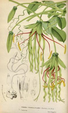 Flore des serres et des jardins de l'Europe, Vol XVIII, Louis Van Houtte, 1869-1870.